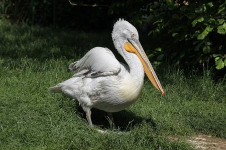 pelecanidae: Dalmatian pelican Pelecanus crispus.
