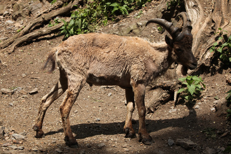 toed: Young male West Caucasian tur (Capra caucasica), also known as the West Caucasian ibex.