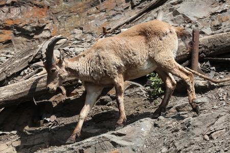 capra: Young male West Caucasian tur (Capra caucasica), also known as the West Caucasian ibex.