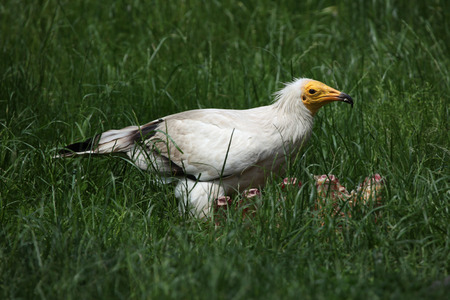 scavenger: Egyptian vulture (Neophron percnopterus), also known as the white scavenger vulture. Stock Photo