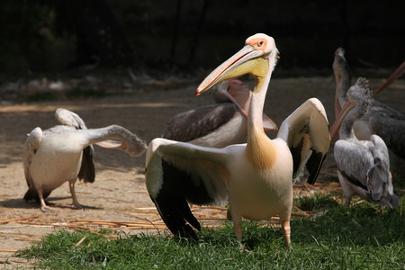 great white pelican: Great white pelican Pelecanus onocrotalus. Stock Photo
