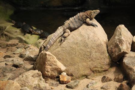 reptilia: Cuban rock iguana Cyclura nubila also known as the Cuban ground iguana. Stock Photo