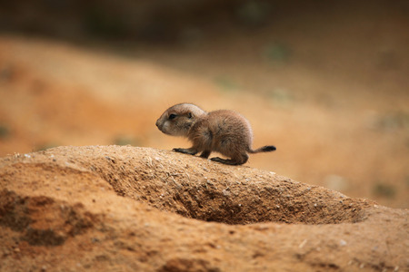 great plains: Blacktailed prairie dog Cynomys ludovicianus.