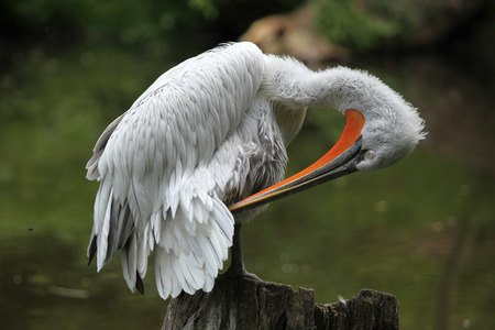 pelecanidae: Dalmatian pelican (Pelecanus crispus).