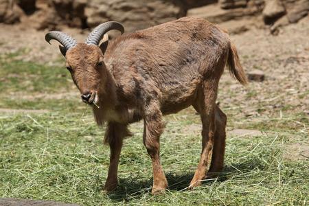 barbary: Barbary sheep (Ammotragus lervia).