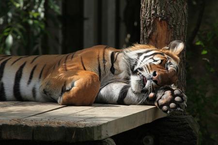 panthera tigris sumatrae: Sumatran tiger (Panthera tigris sumatrae). Stock Photo