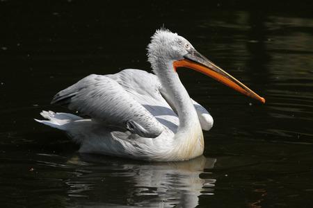 pelecanus: Dalmatian pelican (Pelecanus crispus).