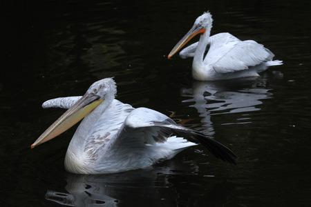 dalmatian: Dalmatian pelican (Pelecanus crispus).