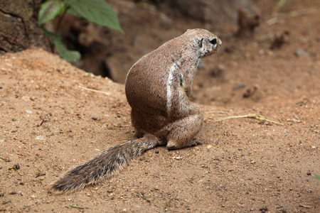 cape ground squirrel: Cape ground squirrel (Xerus inauris). Wildlife animal. Stock Photo