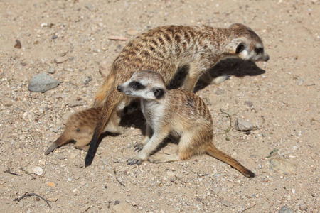 suricata suricatta: Meerkat (Suricata suricatta), also known as the suricate with two babies. Wildlife animal.