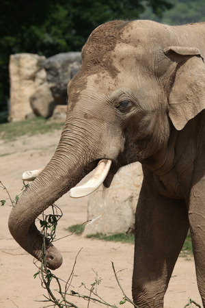 hoofed animals: Indian elephant (Elephas maximus indicus) uses trunk to eat green branch. Wildlife animal. Stock Photo