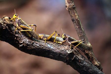 langosta: Migratorias langosta (Locusta migratoria). Animales de la fauna.