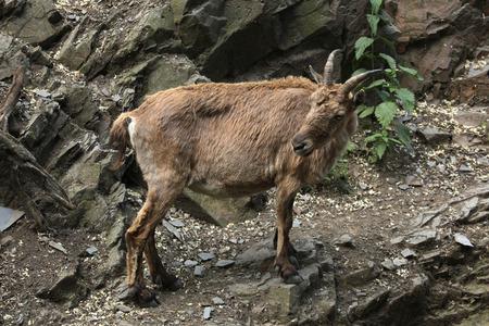 hoofed animals: Female West Caucasian tur (Capra caucasica), also known as the West Caucasian ibex. Wildlife animal.