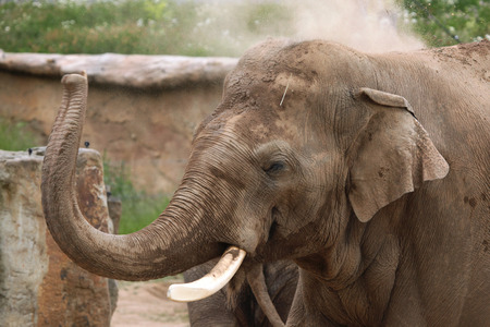 toed: Indian elephant (Elephas maximus indicus) uses trunk to throw sand on its back. Wildlife animal.