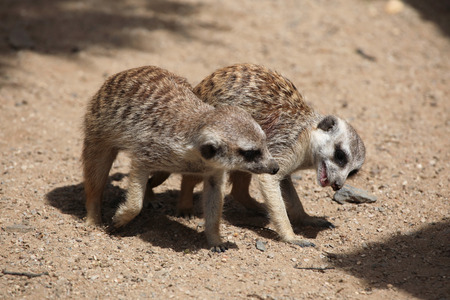 suricata: Two Meerkats (Suricata suricatta), also known as the suricate. Wildlife animals.