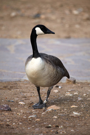 canada goose: Canada goose (Branta canadensis). Wildlife animal. Stock Photo