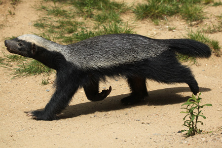 Honey badger (Mellivora capensis), also known as the ratel. Wildlife animal. Stock Photo