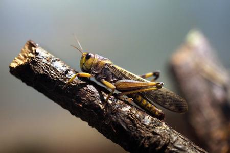 caelifera: Migratory locust (Locusta migratoria). Wildlife animal.
