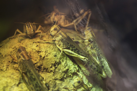 langosta: Langosta del desierto (Schistocerca gregaria). Animales de vida silvestre.