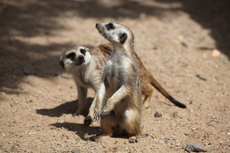 life guard stand: Two Meerkats Suricata suricatta also known as the suricate. Wildlife animals.