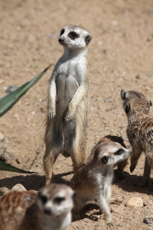 herpestidae: Meerkats Suricata suricatta also known as the suricate. Wildlife animals.