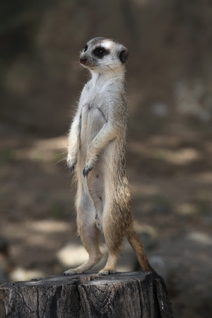 suricata: Meerkat Suricata suricatta also known as the suricate. Wildlife animal. Stock Photo