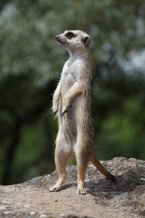 nervousness: Meerkat Suricata suricatta also known as the suricate. Wildlife animal. Stock Photo