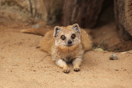 herpestidae: Yellow mongoose Cynictis penicillata also known as the red meerkat. Wildlife animal. Stock Photo