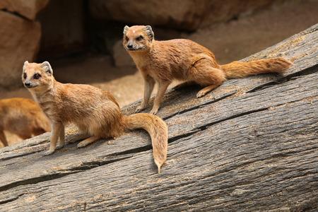 herpestidae: Yellow mongoose Cynictis penicillata also known as the red meerkat. Wildlife animal. Stock Photo