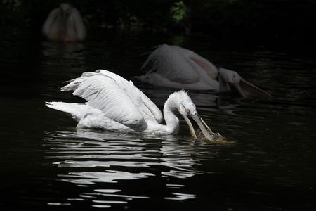 pelecanus: Dalmatian pelican Pelecanus crispus catching fish. Wildlife animal.
