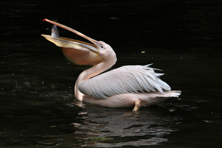 Great white pelican (Pelecanus onocrotalus), also known as the rosy pelican eating fish. Wildlife animal. Фото со стока