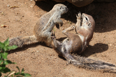 Two Cape ground squirrels (Xerus inauris). Wildlife animals. Stok Fotoğraf