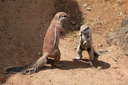 cape ground squirrel: Two Cape ground squirrels (Xerus inauris). Wildlife animals. Stock Photo