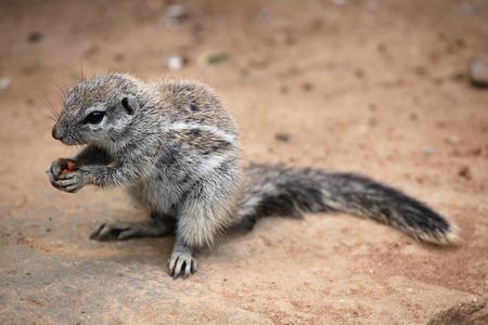 cape ground squirrel: Cape ground squirrel Xerus inauris. Wildlife animal. Stock Photo