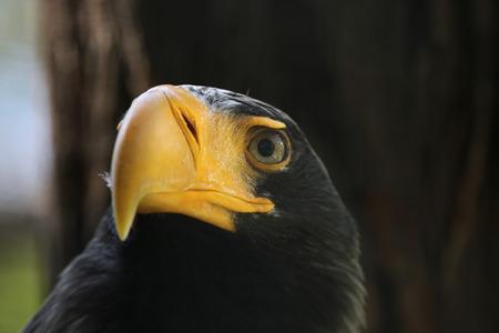 Stellers sea eagle (Haliaeetus pelagicus). Wildlife animal.