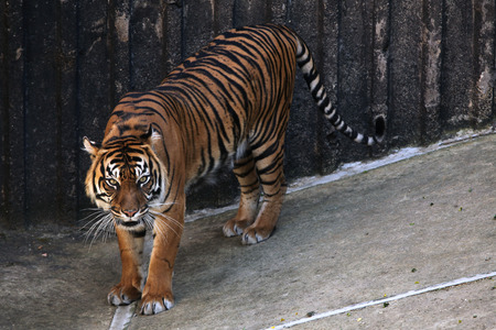 sumatran: Sumatran tiger Panthera tigris sumatrae. Wildlife animal.