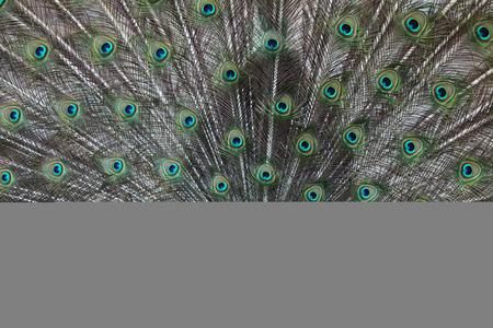 peafowl: Indian peafowl (Pavo cristatus), also known as the blue peafowl. Wildlife animal.