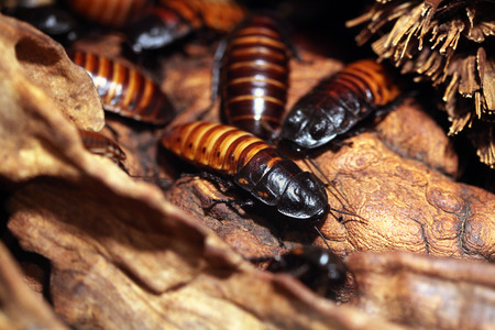 Madagascar hissing cockroach (Gromphadorhina portentosa), also known as the Madagascan giant cockroach. Wildlife animal. Stock Photo