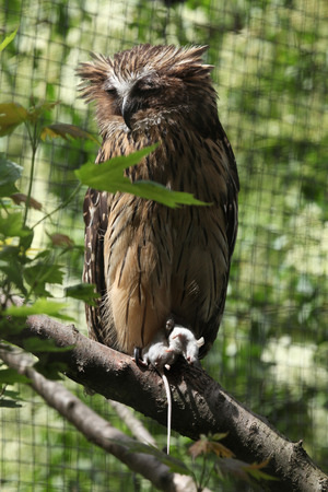 strigiformes: Buffy fish owl (Bubo ketupu), also known as the Malay fish owl holding a dead mouse. Wildlife animal.