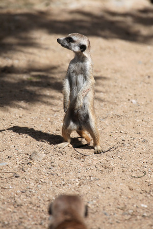 life guard stand: Meerkat (Suricata suricatta), also known as the suricate. Wildlife animal. Stock Photo