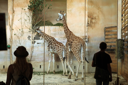ugandan: PRAGUE CZECH REPUBLIC  JUNE 2 2015: Visitors look at the Rothschild s giraffes Giraffa camelopardalis rothschildi at Prague Zoo Czech Republic. Editorial