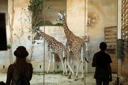 enclosures: PRAGUE CZECH REPUBLIC  JUNE 2 2015: Visitors look at the Rothschild s giraffes Giraffa camelopardalis rothschildi at Prague Zoo Czech Republic. Editorial