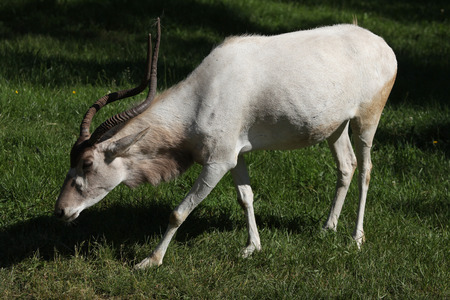 bovidae: Addax (Addax nasomaculatus), also known as the white antelope and the screwhorn antelope. Wildlife animal.