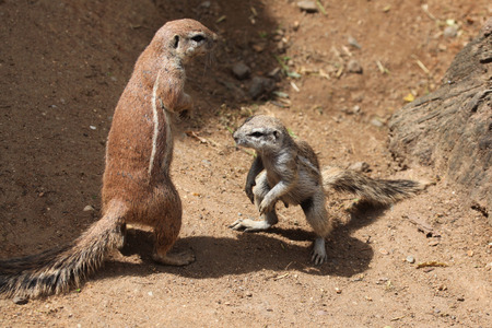 xerus inauris: Two Cape ground squirrels (Xerus inauris). Wildlife animals. Stock Photo