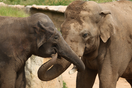 hoofed animals: Two Indian elephants (Elephas maximus indicus). Wildlife animals. Stock Photo