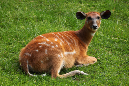 toed: Forest sitatunga (Tragelaphus spekii gratus), also known as the forest marshbuck. Wildlife animal.