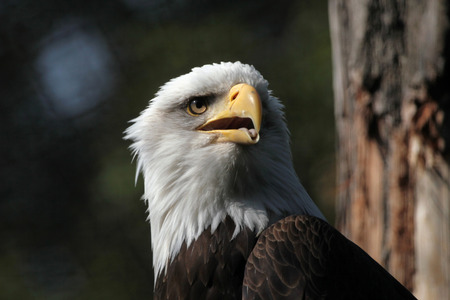 haliaeetus leucocephalus: Bald eagle (Haliaeetus leucocephalus), known as the national bird of the United States of America.