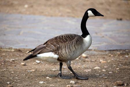 wildlife: Canada goose (Branta canadensis). Wildlife animal. Stock Photo