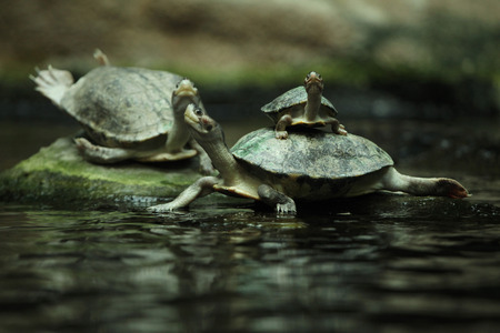 terrapin: Southern river terrapin (Batagur affinis), also known as the Batagur. Wildlife animal. Stock Photo