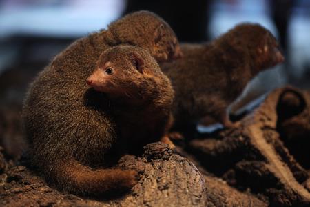carnivora: Common dwarf mongoose (Helogale parvula). Wildlife animal.